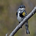 Yellow-Rumped Warbler Sits For Portrait by Vidterry