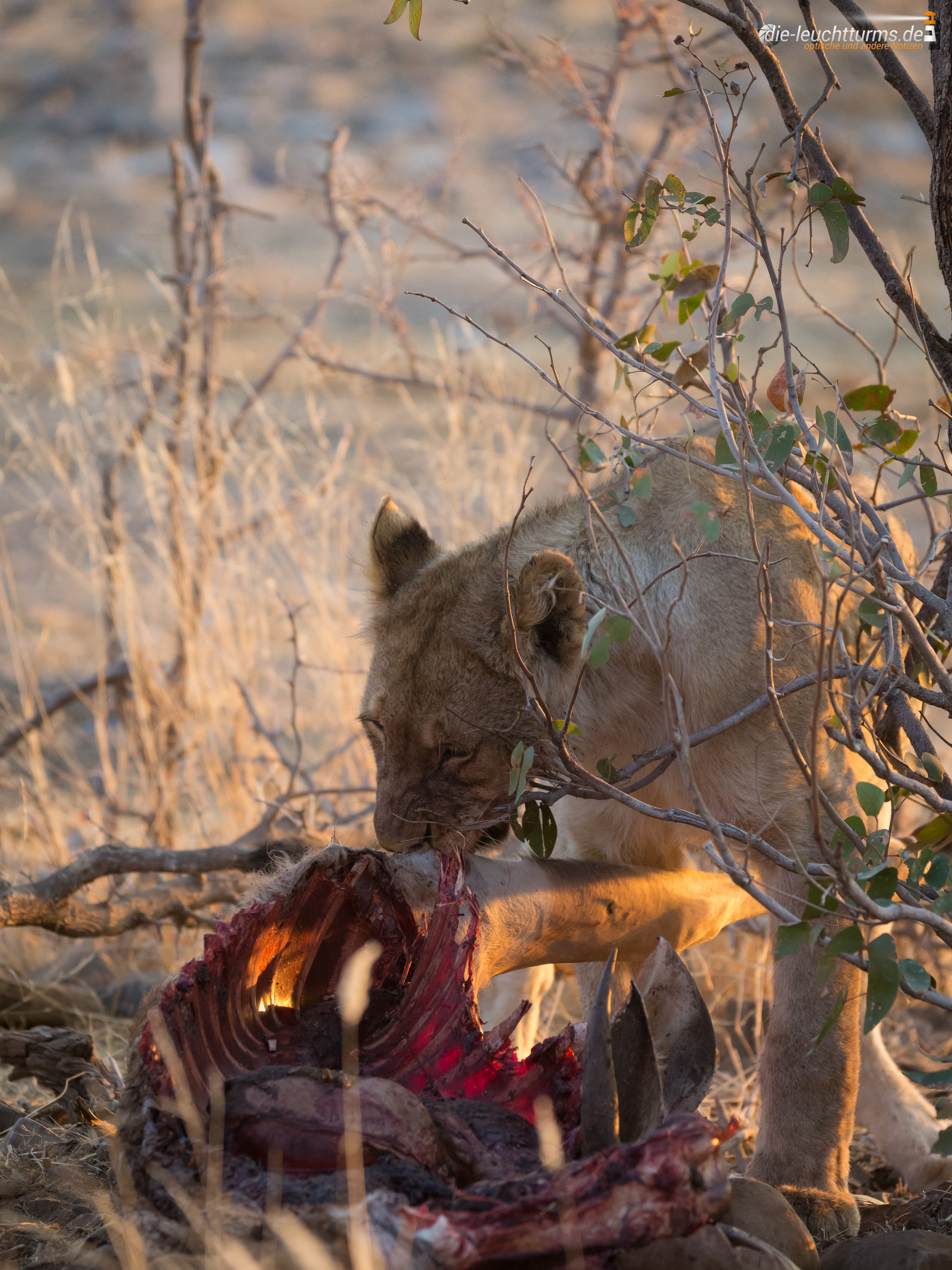 A young lion with Kudu-meal