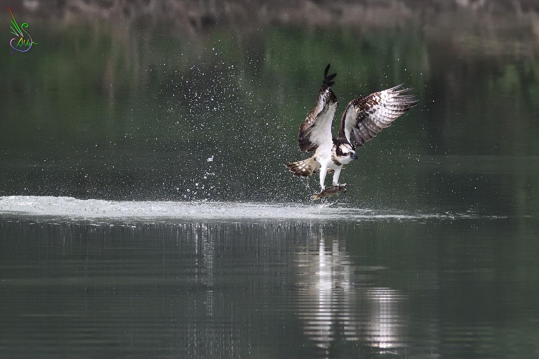 Osprey_2383