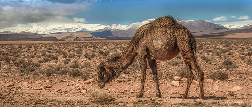 tinghirتنغي morocco camel richard murrin art photography canon 5d landscape travel images building cool atlas mountains