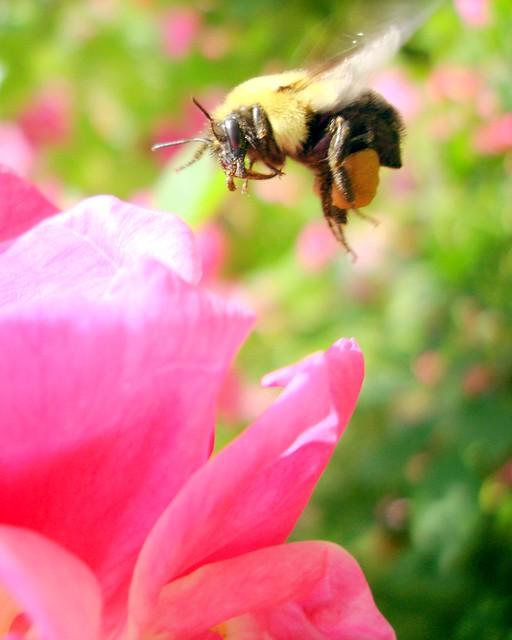 Humblebee in May