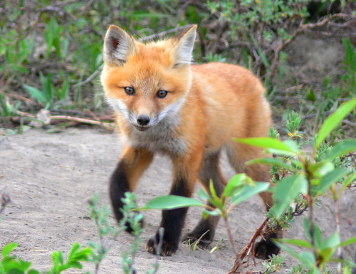 Fox Kit Up Close