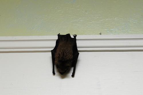 Mr. Big Brown Bat!