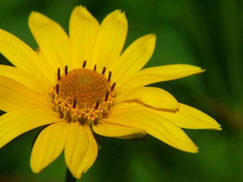 flowers oxeye fujifinepixs5100 4macro oxeyesunflower