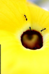 ants on a yellow flower    MG 8469