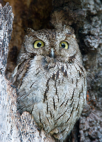 Western Screech-Owl | Flickr - Photo Sharing!