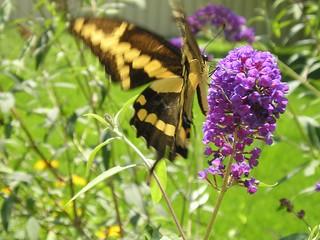 .Tiger Swallowtail butterfly at the butterfly bush in My yard