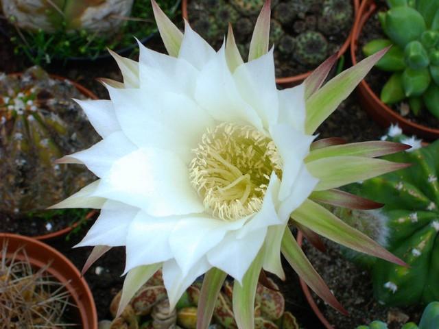 white cactus flower | Flickr - Photo Sharing!