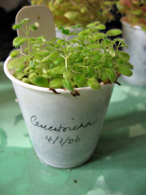 Sinningia leucotricha seedlings