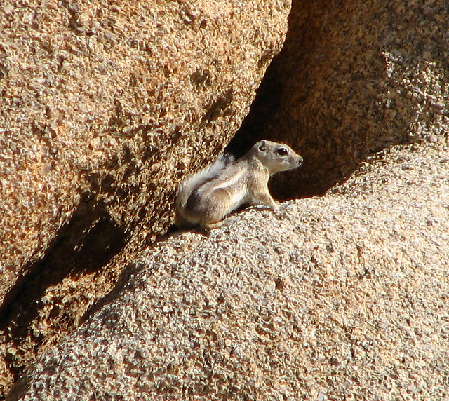 kangaroo rat flickr   photo sharing
