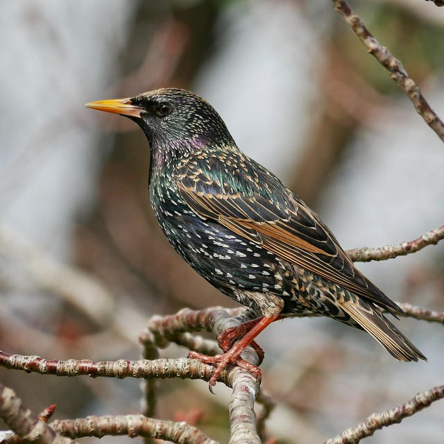 Starling in our backyard.