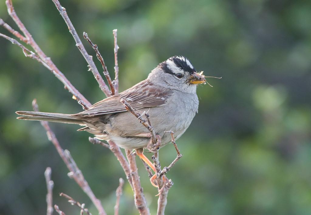 白冠麻雀 (White-crowned Sparrow)