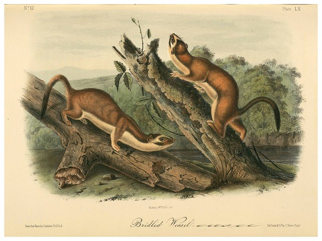 015-Comadrejas-The quadrupeds of North América-Vol2- 1849- 1854-J.J. Audubon-Universite de Strasbourg