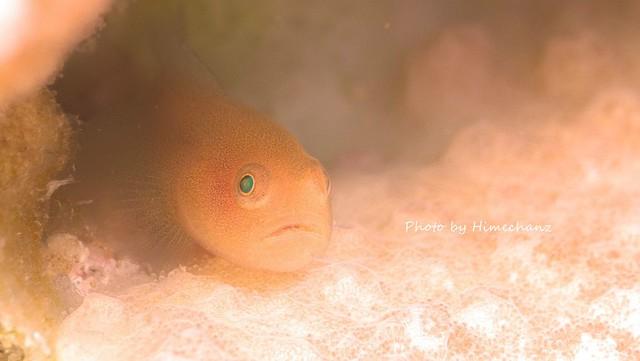 カサイダルマハゼ幼魚