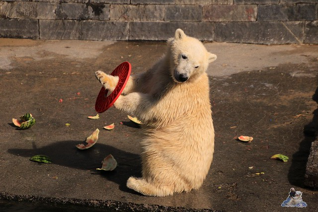 Eisbär Fiete im Zoo Rostock 05.09.2015  0233