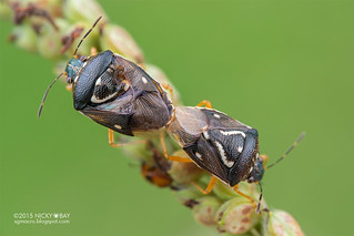 Stink bugs (Pentatomidae) - DSC_7684