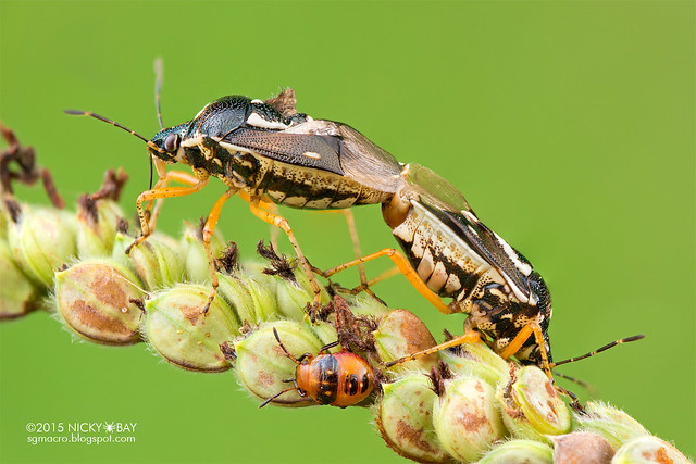 Stink bugs (Pentatomidae) - DSC_7678