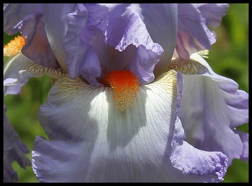 Iris Grecian Skies (3)
