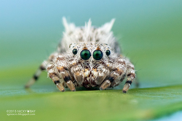 Jumping spider (Beata sp.) - DSC_0708