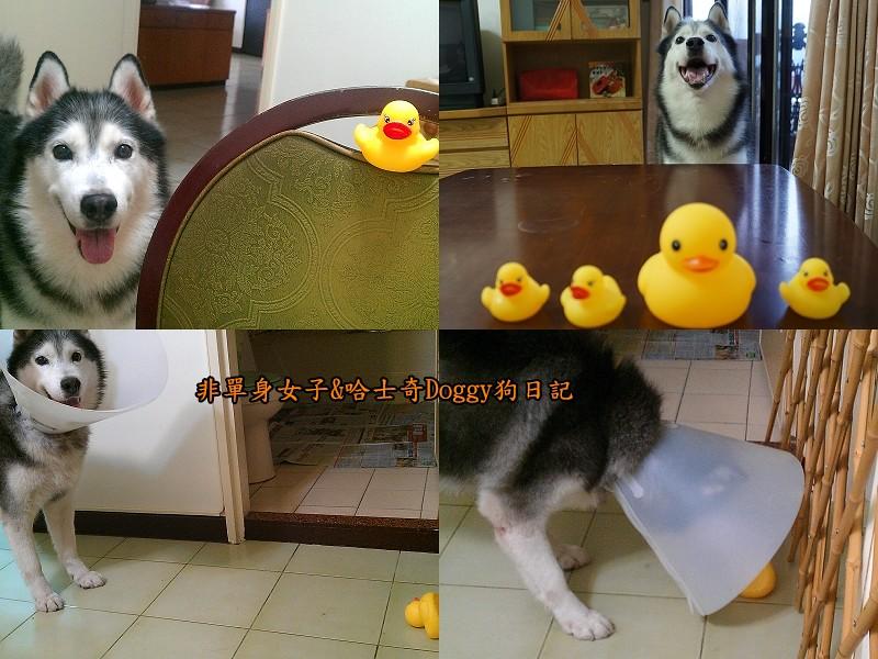 哈士奇doggy與啾啾玩具黃色小鴨07