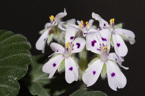 Pelargonium sibthorpiifolium