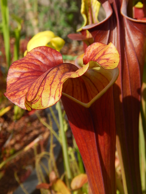 Sarracenia flava var. atropurpurea x var. rubricorpora