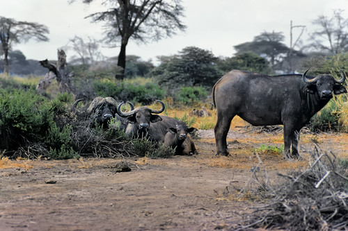 africa nature animal landscape kenya wildlife safari vista savannah 1977 bovine capebuffalo eastafrica synceruscaffer africanbuffalo maasaiamboseligamereserve edk7 woodedsavannah kajiadocounty nikonnikkormatft2kodachromeslide renamedamboselinationalpark