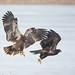 Bald Eagle Switcheroo