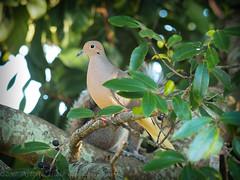 2017-02-02_P2020055_ Dove and Squirrel,Clwtr,Fl