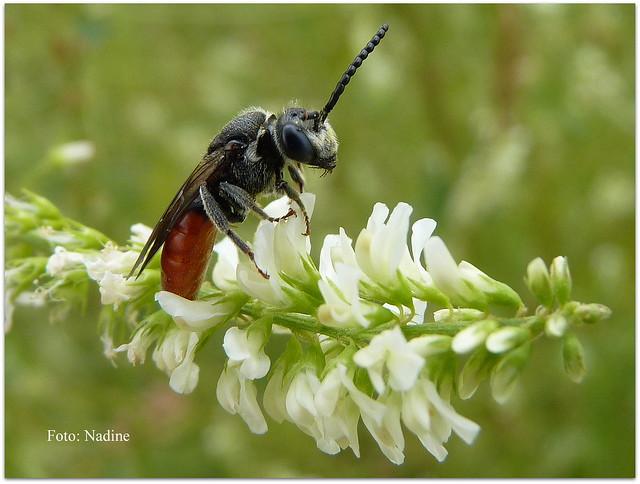 "Cleptomaniacal  ""Cuckoo Bee"" (Explored), Panasonic DMC-FZ38"