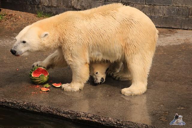 Eisbär Fiete imm Zoo Rostock 15.08.2015 Teil 2  285