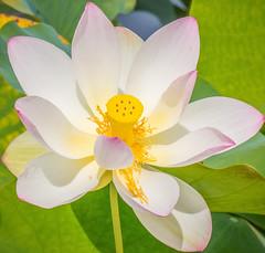 Lotus Flower ****