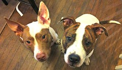 dog breed, animal, dog, pet, carnivoran, terrier,