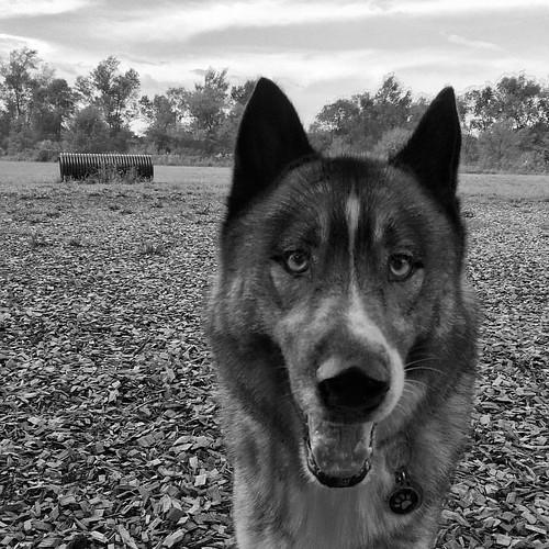 A dog park beauty #dogpark #husky