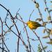 IMG_6773  Yellow Warbler