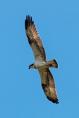 Osprey Weston Turville Reservoir