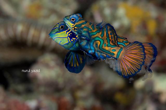 Mandarin fish by Nurul Yazid