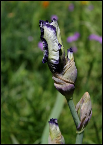 Iris Art deco en bouton