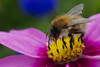 Bee on Flower4