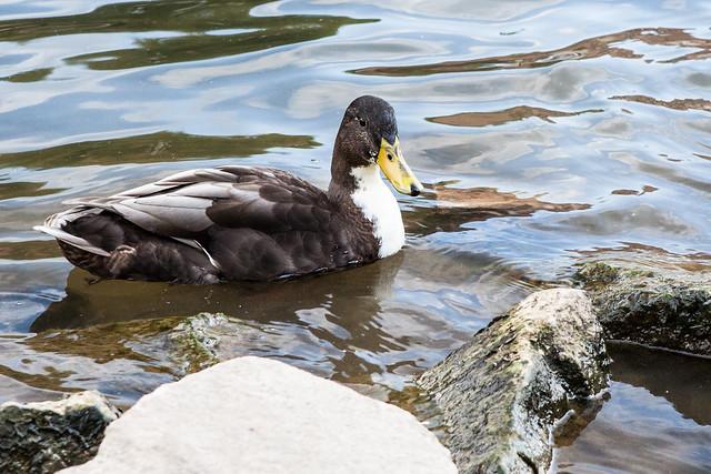 wild ducks. Bamberg. Upper Franconia, Bavaria, Germany