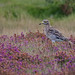 Curlew stone playing hard to get Suffolk 25.9.2015 (1) by Margaret the Novice