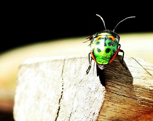 IMG 7901  Pretty Stink Beetle (Weevil)