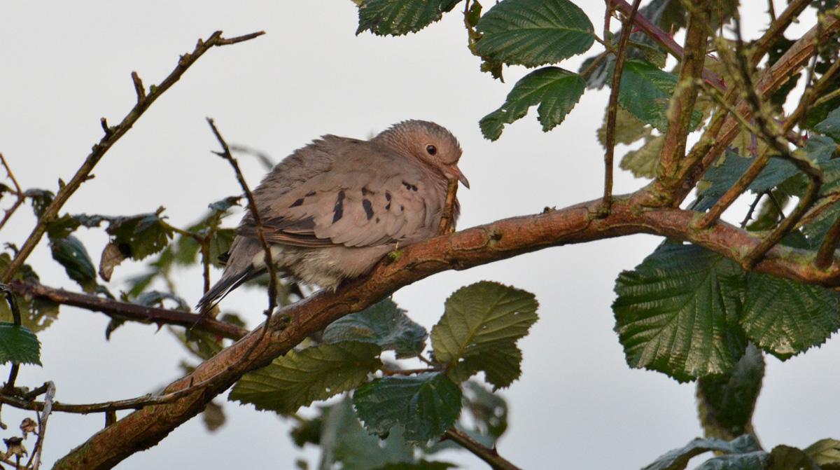 Common Ground Dove - 11/8/2015