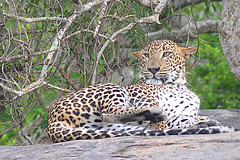 ocelot(0.0), animal(1.0), big cats(1.0), cheetah(1.0), leopard(1.0), mammal(1.0), jaguar(1.0), fauna(1.0), safari(1.0), wildlife(1.0),