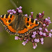 Small Tortoiseshell 6 by Wendles56