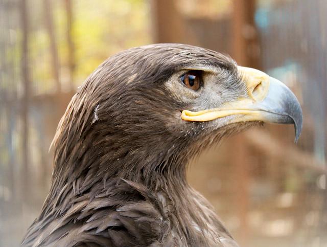 Caucasus Eaglee