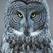 Great Grey Owl by www.jessfindlay.com