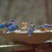 Blue Bird Frenzy by Kim Taylor Hull