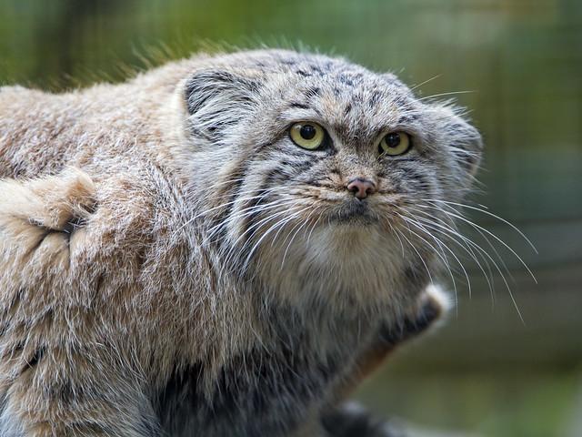 Pallas cat looking not amused.
