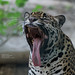 Jaguar yawning II